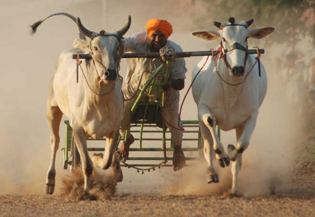 Illegal bullock cart race busted, seven held for cruelty