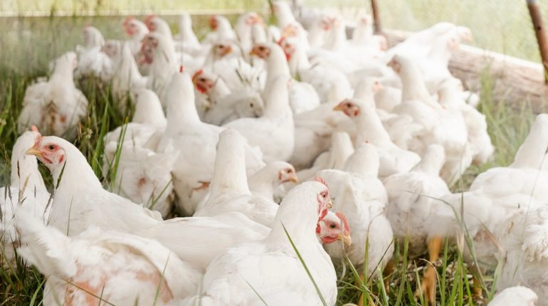 Can you eat chicken and eggs during bird flu?